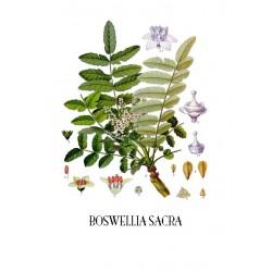 BOSWELLIA SACRA OLIO ESSENZIALE 100% PURO CERTIFICATO EDIBILE ANTITUMORALE ANTINFIAMMATORIO WWW.COSMETICSDIVISION.COM